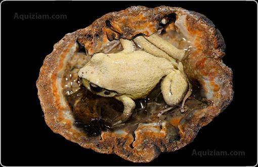 Des animaux retrouvé vivant dans des pierres Grenouille_g%e9ode
